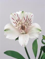 Alstroemeria Image