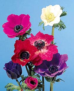 Anemone Image