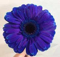 Daisy - Gerbera - Dark Blue Image