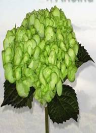 Hydrangea (Lime Green) Image