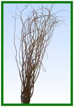 Curly Willow Tips Image