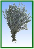 Eucalyptus (Gunni) Image