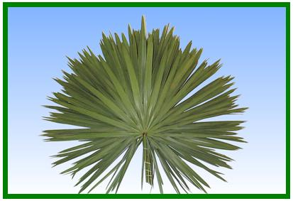 Palmetto Fan Image