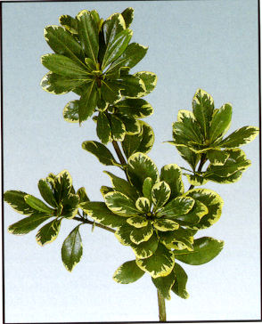 Pittisporum (Variegated) Image
