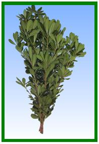Pittosporum (Green) Image
