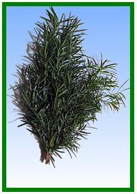 Podocarpus Image