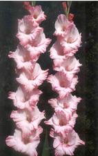 Gladiolus Image