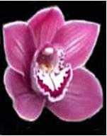 Orchid: Cymbidium Image