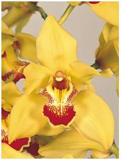 Orchid (Cymbidium) Image