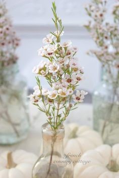 Waxflower Image